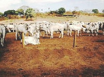 KORY MELBY: AGBR: Brazilian cattle measurement terms in English